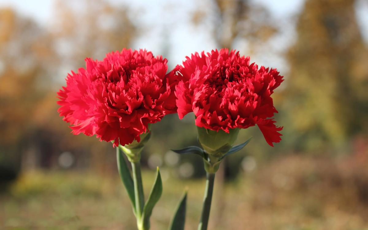 + Hoa của tháng 1: The flower of January + Biểu tượng hoa cho \