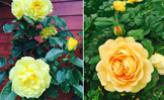 Vườn hoa hồng khoe sắc suốt 20 năm