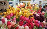 Kỹ thuật trồng hoa Tulip